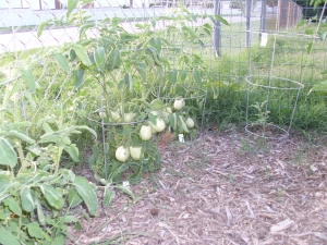 The tomato portion of the garden... before the crabgrass took over.