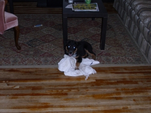 Bear kills a towel after an hour out in the rain.